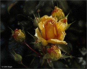 """Collin Bogle Handsigned and Numbered Limited Edition :""""Yellow Rose"""""""