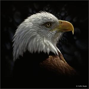 """Collin Bogle Handsigned and Numbered Limited Edition :""""Bald Eagle Portrait"""""""