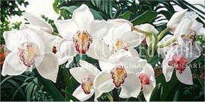 "Brian Davis Limited Edition Giclee on Canvas :""Cymbidiums in Love """