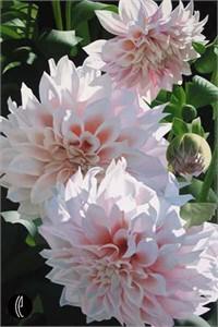 "Brian Davis Limited Edition Giclee on Canvas:""Three Pink Dahlias"""