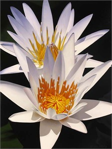 "Brian Davis Limited Edition Embellished Giclee on Canvas :""Water Lily Duet"""