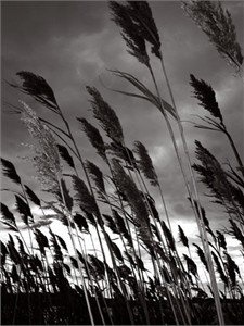 "Francine Fleischer Signed and Numbered Limited Edition Suite on  Photograph on 300 gsm. Sunset Paper: ""Reeds 2"""