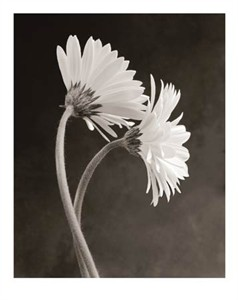 "Sondra Wampler Signed and Numbered Limited Edition Giclée on Paper:""Gerbera"""
