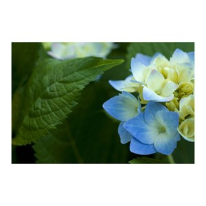 "Stacy Bass Signed and Numbered Limited Edition Custom Sized Gicl�e on Paper or Canvas: ""Hydrangea Detail 2"""