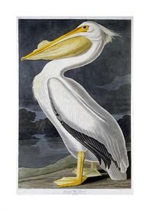 "John James Audubon Fine Art Open Edition Giclée:""American White Pelican"""