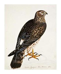 "Rev. Christopher Atkinson Fine Art Open Edition Giclée:""Falco Pygargus, Hen-Harrier, Fem"""