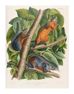 "John James Audubon Fine Art Open Edition Giclée:""Red-Bellied Squirrel"""