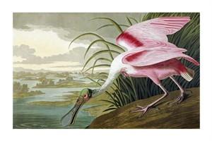"John James Audubon Fine Art Open Edition Giclée:""Roseate Spoonbill"""