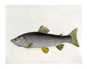 "Sarah Bowdich Fine Art Open Edition Giclée:""Watercolour of a Trout. From 'The Fresh-Water Fishes of Great Britain', First Edition"""
