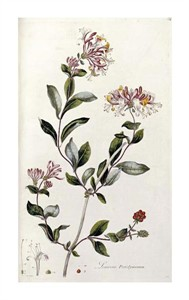 """William Curtis Fine Art Open Edition Giclée:""""A Colour Plate from Curtis' Flora Londinesis"""""""