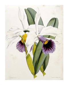 "William Curtis Fine Art Open Edition Giclée:""Lily"""