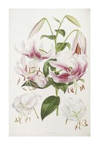 "Henry John Elwes Fine Art Open Edition Giclée:""A Monograph of the Genus Lilium"""
