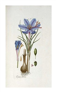 "Andreas Friedrich Happe Fine Art Open Edition Giclée:""Crocus Sativus"""