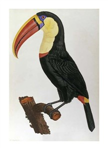 """Francois Le Vaillant Fine Art Open Edition Giclée:""""Le Toucan"""""""