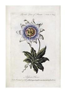 """Thomas Parkinson Fine Art Open Edition Giclée:""""Passion Flower"""""""