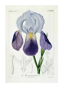 """H.G.L. Reichenbach Fine Art Open Edition Giclée:""""Bearded Iris"""""""