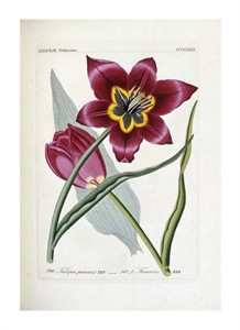 "H.G.L. Reichenbach Fine Art Open Edition Giclée:""Tulipa Praecox"""
