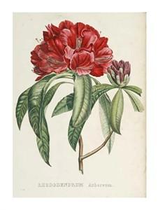 """H.G.L. Reichenbach Fine Art Open Edition Giclée:""""Rhododendrum Arboreum"""""""