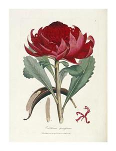 "James Edward Smith Fine Art Open Edition Giclée:""A Specimen of the Botany of New Holland"""