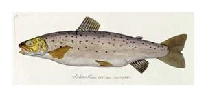 """Baron Carl Von Meidinger Fine Art Open Edition Gicl�e:""""Salmon Engraving"""""""