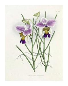 """Robert Warner Fine Art Open Edition Giclée:""""The Orchid Album Plate 475"""""""