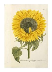 """Johann Wilhem Weinmann Fine Art Open Edition Giclée:""""Sun Flower"""""""
