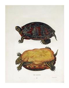 """John Edwards Holbrook Fine Art Open Edition Giclée:""""Emrys Rubriventris"""""""