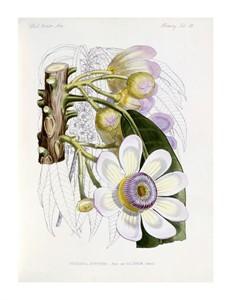 """J. G. Keulemans Fine Art Open Edition Giclée:""""Membrillo"""""""