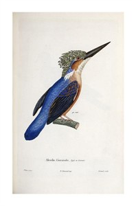 "Cyrille Pierre Theodore Laplace Fine Art Open Edition Giclée:""Malagasy Kingfisher"""