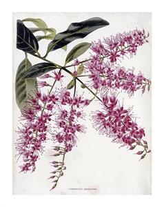 "Conrad Loddiges Fine Art Open Edition Giclée:""Combretum Purpureum"""