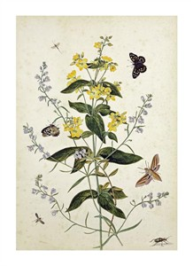 "Thomas Robins Jr. Fine Art Open Edition Giclée:""Yellow Loosestrife and Other Wild Flowers"""