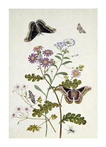 "Thomas Robins Jr. Fine Art Open Edition Giclée:""Convolvulus and Chrysanthemum"""
