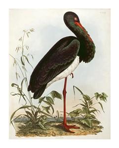 "John Prideaux Selby Fine Art Open Edition Giclée:""Black Stork"""