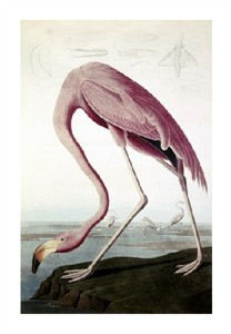 "John James Audubon Fine Art Open Edition Giclée:""American Flamingo"""