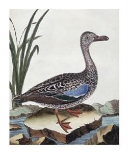 """Georges-Louis LeClerc Buffon Fine Art Open Edition Giclée:""""Sarcelle (Duck) de Cayenne"""""""