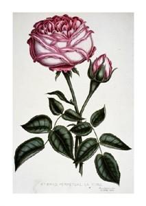 "Henry Curtis Fine Art Open Edition Giclée:""Hybrid, Perpetual, La Reine"""