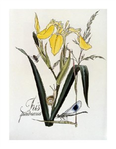 """Zapf and Rosenberger Fine Art Open Edition Giclée:""""Iris with a Snail and Dragonfly"""""""
