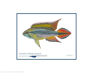 "Flick Ford Open Edition Giclée Print on Paper:""Agassizi´s Dwarf Cichlid"""
