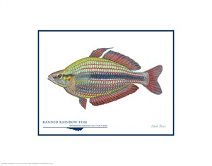 "Flick Ford Open Edition Giclée Print on Paper:""Banded Rainbow Fish"""