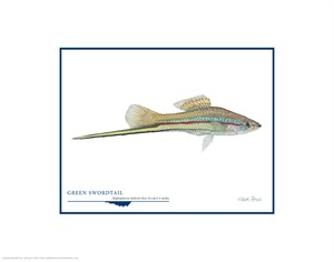 "Flick Ford Open Edition Giclée Print on Paper:""Green Swordtail"""