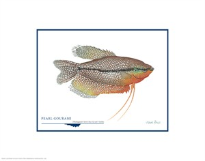 "Flick Ford Open Edition Giclée Print on Paper:""Pearl Gourami"""