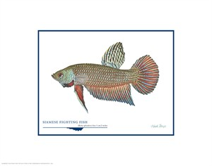 """Flick Ford Open Edition Giclée Print on Paper:""""Siamese Fighting Fish"""""""