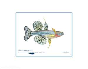 "Flick Ford Open Edition Giclée Print on Paper:""Spotted Blue-eye"""