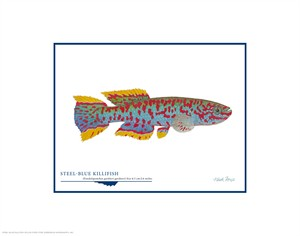 "Flick Ford Open Edition Giclée Print on Paper:""Steel-blue Killifish"""