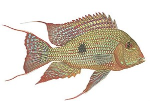 "Flick Ford Open Edition Giclée Print on Paper:""Eartheater Cichlid"""