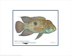 "Flick Ford Open Edition Giclée Print on Paper:""Green Terror Cichlid"""