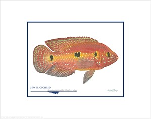 "Flick Ford Open Edition Giclée Print on Paper:""Jewel Cichlid"""