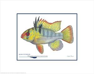 "Flick Ford Open Edition Giclée Print on Paper:""Ram Cichlid"""