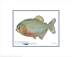 """Flick Ford Open Edition Giclée Print on Paper:""""Red-Bellied Piranha"""""""