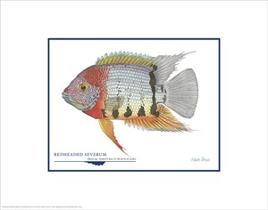 "Flick Ford Open Edition Giclée Print on Paper:""Redheaded Severum"""